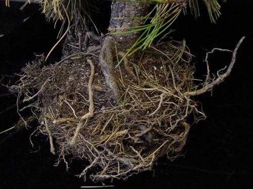 Bosnian pine roots