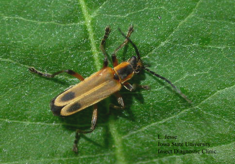 Image of a soldier beetle on a leaf