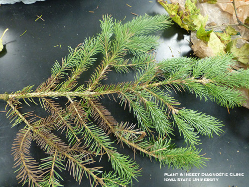 Example of a good spruce sample. Has many needles
