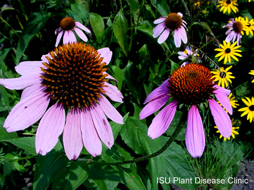 Image of some coneflowers