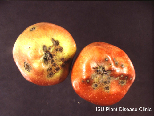 Image of apples from a tree with a case of apple scab
