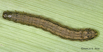 Fall armyworm caterpillars are orange-brown with lengthwise stripes.