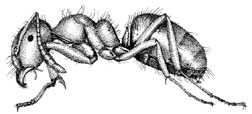 Artist rendering of a larger yellow ant