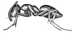 Artist rendering of an odorous house ant