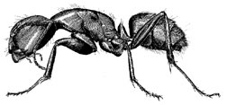 Artist rendering of a carpenter ant