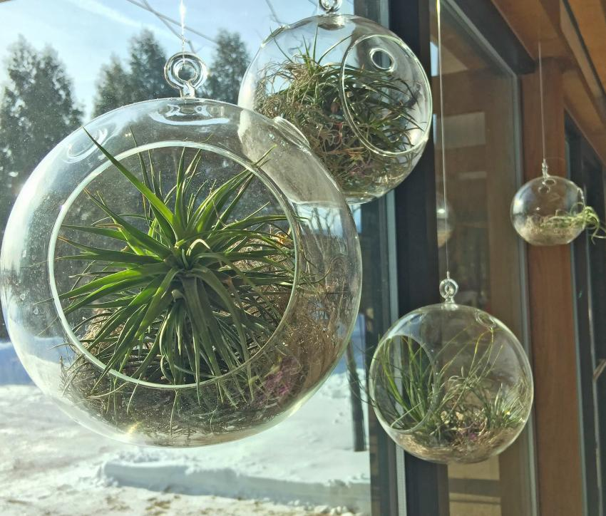 Air plants can be displayed in a variety of ways.