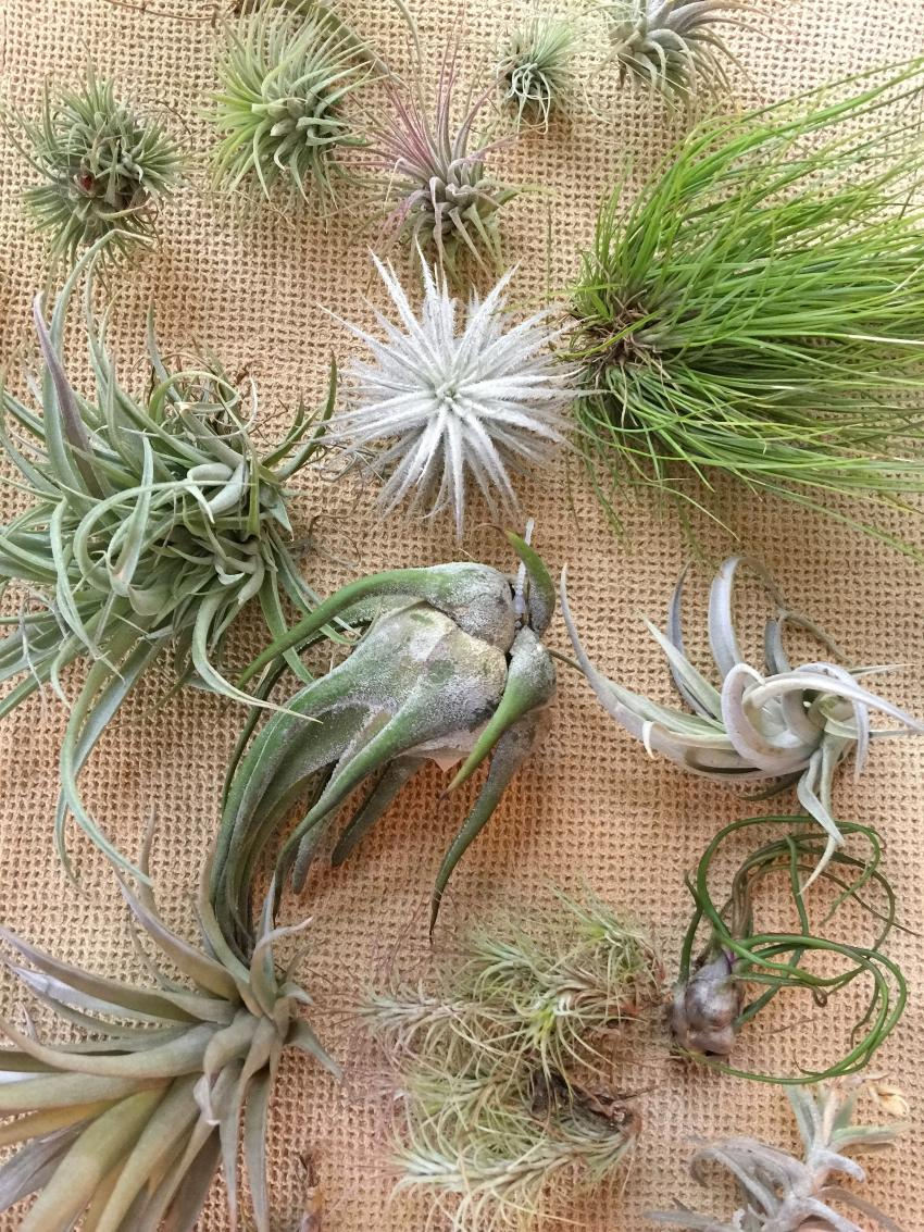 Air plants are plants that grow without soil. This distinctive growth habit means these fun houseplants have some special considerations.