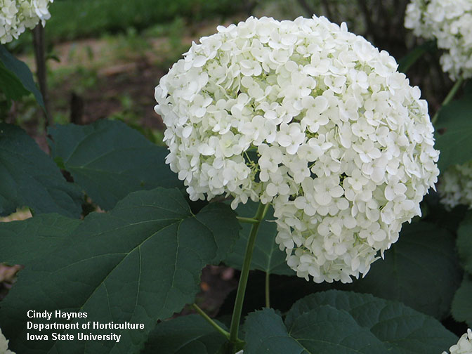 large white flower of the Annabelle hydrangea