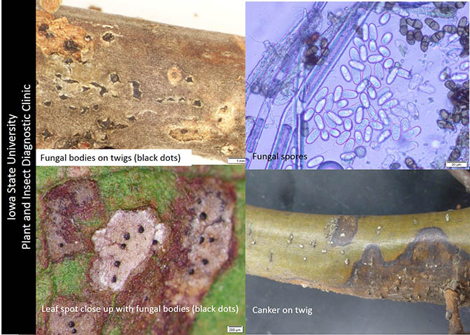 1. Fungal bodies on twigs (black dots), 2. leaf spot close-up with fungal bodies, 3. canker on twig, 4. fungal spres