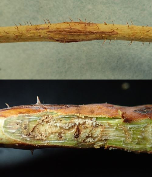 Symptoms and signs of Powdery mildew in Viburnum