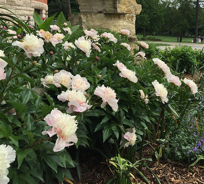 A row of blooming common peonies