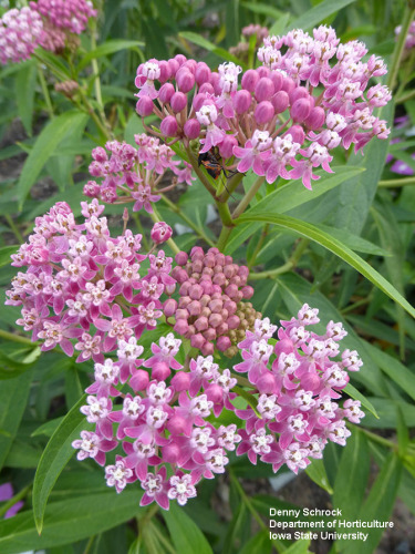 Photo of milkweed