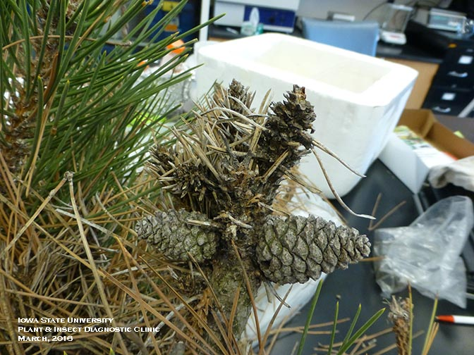 Example of diplodia tip blight. Shows pine needles turning brown