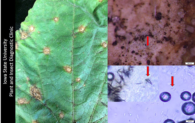 A cucumber leaf with leaf spots. Includes microscopic views of Colletotrichum orbiculare.