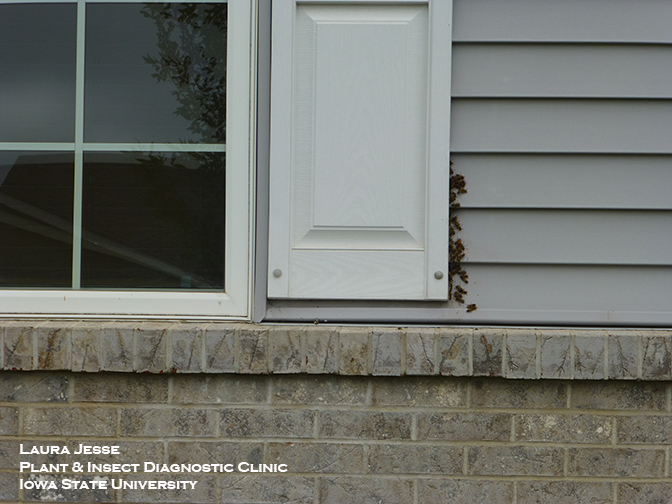 Paper wasps nesting behind a window shutter