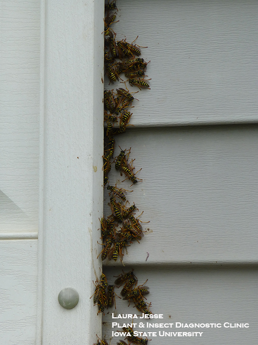 Close-up of paper wasps nesting behind a window shutter