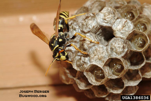 European paper wasp on a nest full of eggs