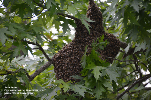 Swarm of honey bees on a tree