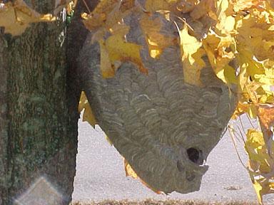 Baldfaced hornet nest