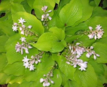 image of hosta in bloom