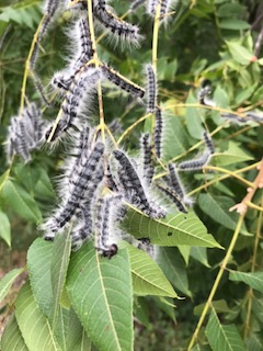 Walnut caterpillars.