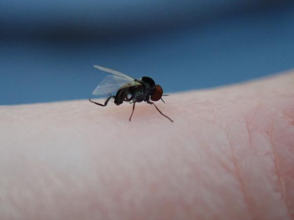 A picture of a black fly on human skin