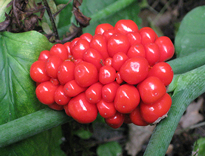 Cluster of bright red Jack-in-the-pulpit berry