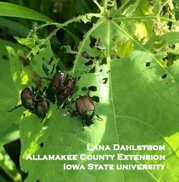 Japanese beetles on prairie plants