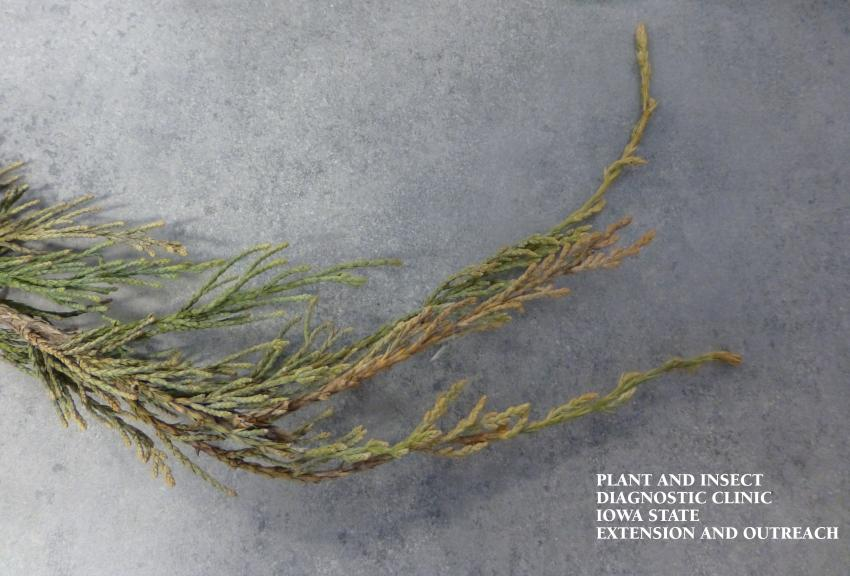A picture illustrating the symptoms of blight in Juniper branches