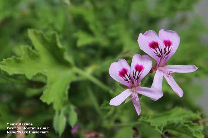 Growing Annual Geraniums Horticulture And Home Pest News