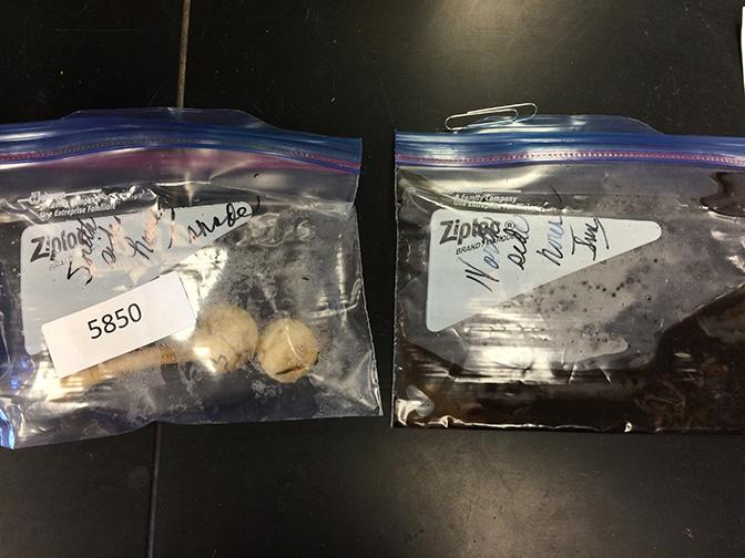 Mushroom samples in plastic baggies