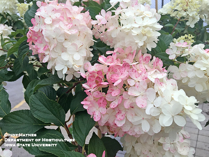 Hardy Hydrangeas For Iowa Horticulture And Home Pest News
