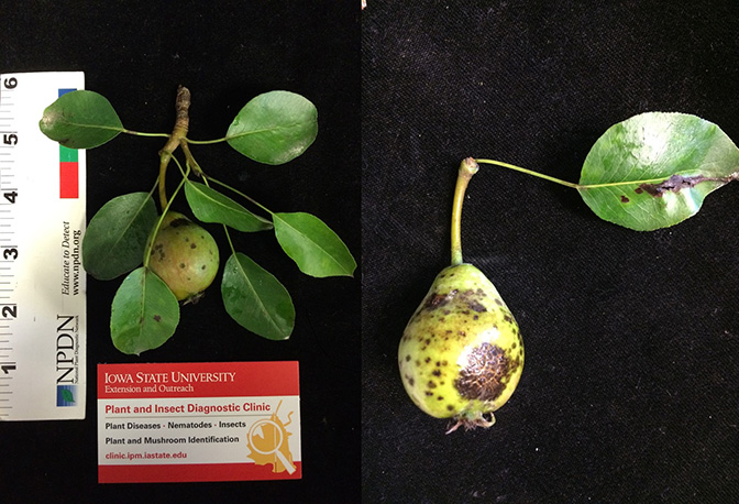 Pear with pear scab symptoms. It is mottled with brown spots on the fruit and leaves
