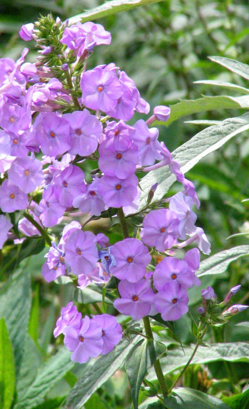 A picture illustrating purple Phlox paniculata