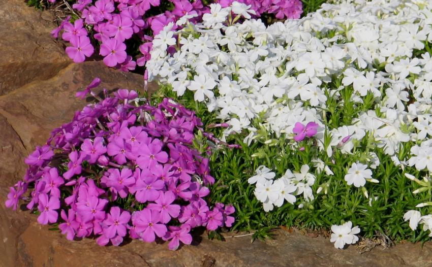 A picture illustrating white and purple Phlox subulata
