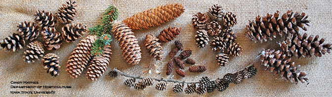 an assortment of cones from a variety of conifer trees