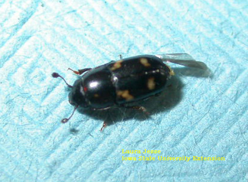 Four-spotted sap beetles are shiny black with 4 yellow spots on the wing covers.