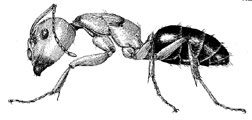 Artist rendering of a 'smaller' carpenter ant