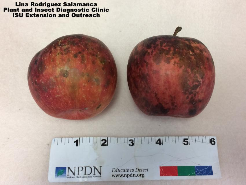 These apples have sooty blotch and flyspeck. A ruler is shown to convey size of fungus.