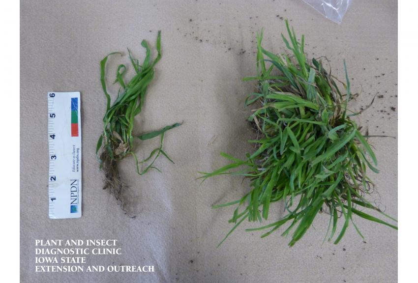A picture illustrating the appearance of tall fescue samples