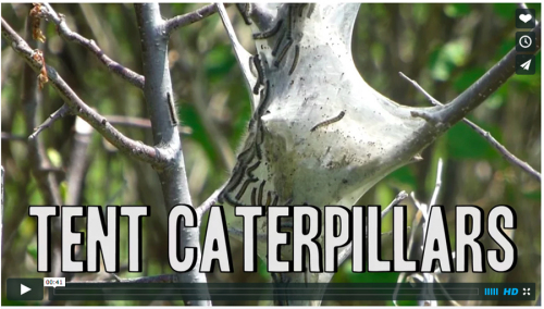 This picture of eastern tent caterpillar is the link to a short video.
