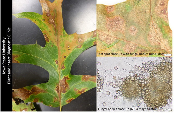 Leaf spot close up with fungal bodies(black dots), and Fungal bodies close up (600x magnification)
