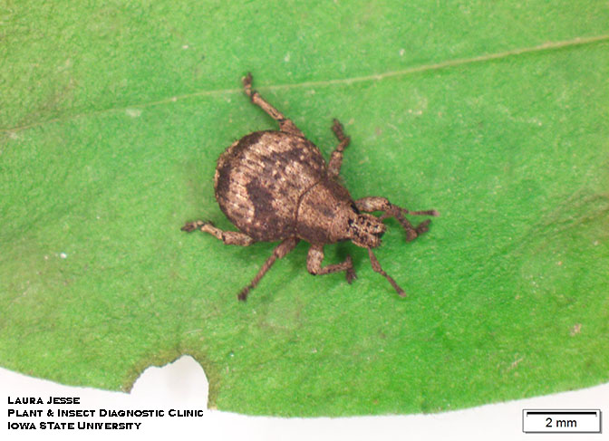 Japanese weevil on a leaf