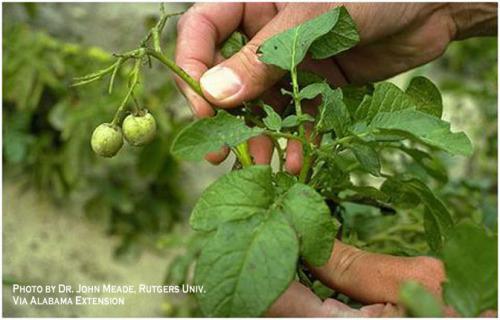 Семена картофеля обрывают