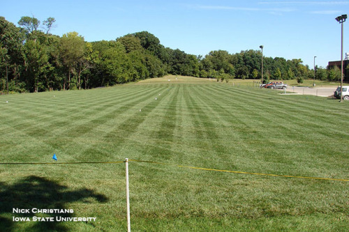 Photo 1. Turf-type tall fescue lawn on the State University campus.