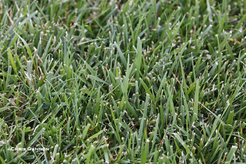 Close view of tall fescue turfgrass at the Iowa State University Turfgrass Research Farm.
