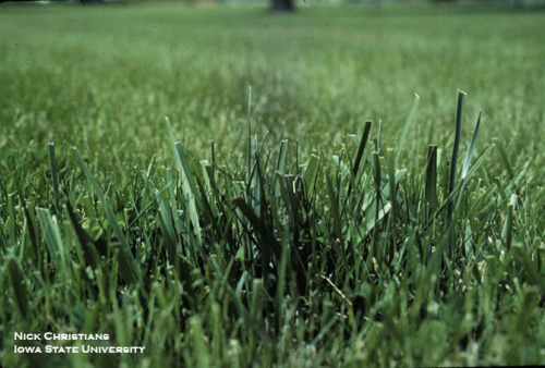 Photo 3.  Tall fescue has a higher growth rate compared to Kentucky bluegrass.