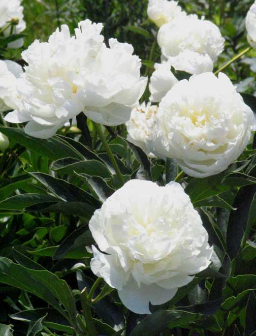 Reasons why peonies fail to bloom horticulture and home pest news white peony mightylinksfo
