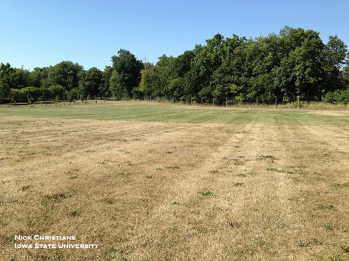 Perennial ryegrass (foreground) is nearly dormant while tall fescue remained green weeks longer.