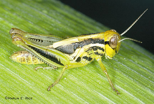 Grasshopper nymphs look like adults only smaller and without wings.  Nymphs can be as small as one-quarter inch!